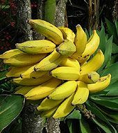 How To Grow Bananas Indoors