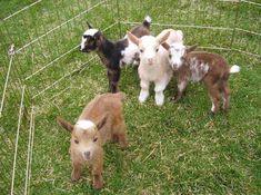 Wren Hill Farm Nigerian Dwarf Dairy Goats