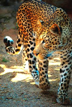 """#leopard. YANG. (leopard by brandon havenga)  Belle Northrup (creator of Yin Yang style typing) in Laredo Times 1934 article """"Are You Yin, Madam, Or Are You Yang? says some women are """"leopard women"""""""