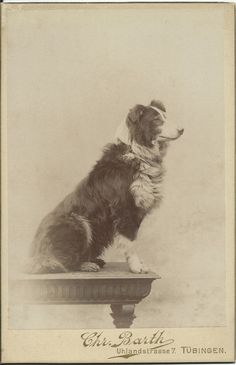 c.1890s cabinet card of profile of a handsome collie sitting on a table. Photo by Chr. Barth, Uhlandstrasse 7. Tübingen, Germany. From bendale colllection