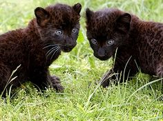 Baby Black Panther   Hello, Kitties! Baby Black Panthers Make Their Berlin Debut - Cute ...