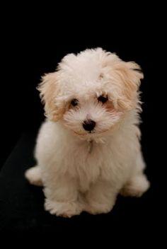 Bichon Bolognese....a French/Italian puppy?