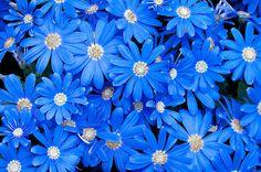 blue daisies - Google Search
