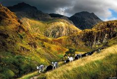 Herdwick #sheep on bridge - #Lake District.  By Ian Lawson via BBC News.