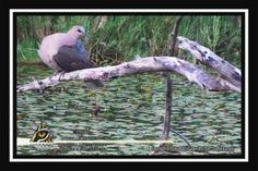 The Cape turtle dove Turtle Dove, Conservation, Cape, Wildlife, Articles, African, Bird, Tv, Animals