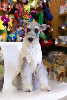 A beautiful mini schnauzer in a darling white sweater so sweet