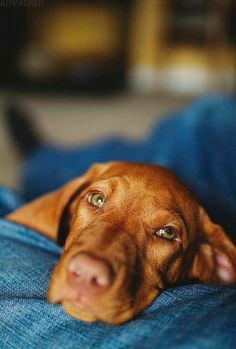 Vizsla Puppies, Beagle, Cute Puppies, Dogs And Puppies, Baby Dogs, Pet Dogs, Dog Cat, Doggies, Pet Pet