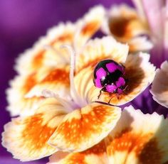Pink Ladybug    Ladybugs / Lady BirdsIDEAS TO SHAREMore Pins Like This At FOSTERGINGER @ Pinterest