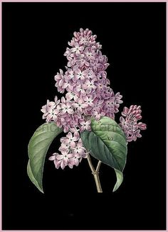 This antique French illustration of a purple lilac bush laid upon a on black background from 1864 is stunning. Again, with the right artist, this would make a wonderful ink/tattoo.