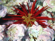 A #red pencil #urchin Amanda Pollock
