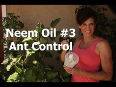 Can this eggplant be saved? How to use e Neem Oil applications to control the aphids and how to make an easy DIY ant bait using 2 ingredients you probably already have on hand. I controlled the worst aphid and ant infestation I have had in my garden wi Garden Bugs, Garden Pests, Edible Garden, Growing Eggplant, Organic Gardening Tips, Vegetable Gardening, Best Perennials, Plant Diseases, Neem Oil