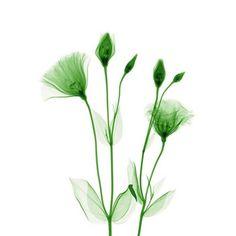Le lisianthus par Hugh Turvey. L'âme des fleurs ...Des radios florales