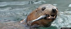 Sea Lion Rescued At Pier 39 Released Back Into Ocean (PHOTOS, VIDEO)