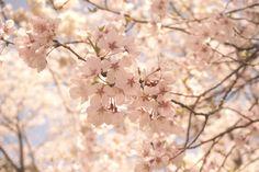 Spring Toyama.japan.