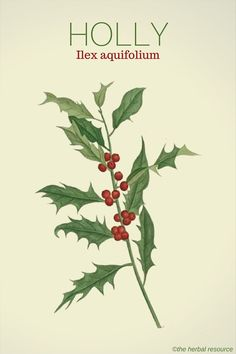 Holly Ilex aquifolium. Holly Herb Uses, Health Benefits, Toxicity and Side Effects