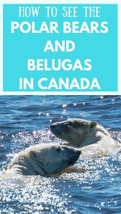 A complete guide to seeing the polar bears and Belugas in Churchill, Manitoba, Canada (oh, and whale watching!). Wildlife watching is amazing and abundance in Canada! #CanadaTravelTips #PolarBears #Belugas