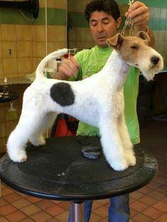 grooming fox terrier - Buscar con Google