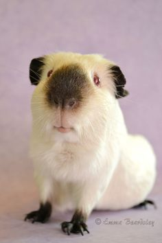 Himalayan Guinea Pig (by Beardsley Art) Most Himmy Piggies I've seen have pink eyes. What a lovely piggy smile this one has!
