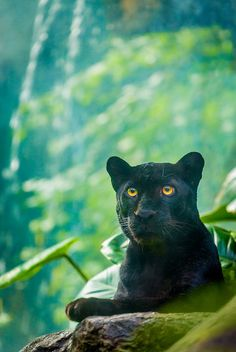 Black Jaguar by alan shapiro photography on Flickr.Beautiful colours…the yellow eyes and the green background