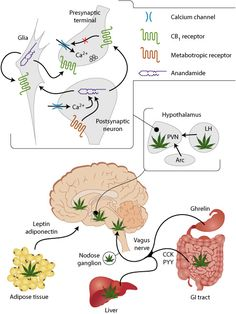 The Human Body and Cannabis: Understanding Our Endocannabinoid System  I have posted articles that discuss how cannabis cures different illnesses. In those studies you will find lots of talk of cannabinoid receptors within our bodies. This is known as our Endocannab...