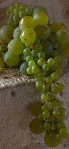 Grk Grapes, Croatia