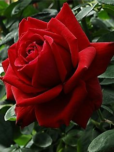 Stunning Red Rose