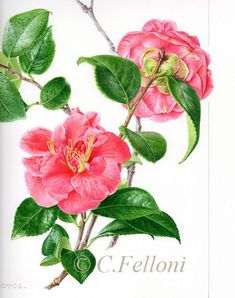 Camellia I Claire Felloni Watercolor Mixing, Watercolor And Ink, Watercolor Flowers, Botany Illustration, Vegetable Illustration, Fruit Art, Flower Art, Art Flowers, Funny Art