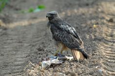 """Hendry Vineyard Life 11: """"Nature, red in tooth and claw."""" Red-tailed hawks keep down our rabbit population. #hendryvineyardlife"""