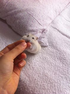 fluffluflufluf💋 - Animals and pets - Animales Cute Little Animals, Cute Funny Animals, Cute Cats, Fluffy Animals, Animals And Pets, Funny Hamsters, Robo Dwarf Hamsters, Baby Hamster, Cute Creatures