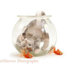 Burmese-cross kitten playing in a goldfish bowl.