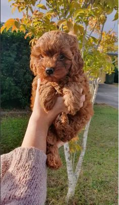 AVAILABLE CAVOODLE PUPPIES – Ultimate Cavoodles Puppies for Sale Cute Puppies For Sale, Cute Puppies Images, Puppy Images, Cute Dogs, Dogs And Puppies, Baby Animals Super Cute, Cute Animals, Dog Rules, Puppy Breeds
