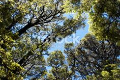 Looking up through a Silver Beech Forest Royalty Free Stock Photo