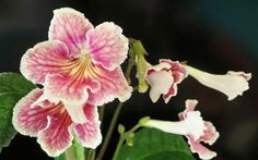Streptocarpus 'UA Sunset' - by Russian hybridizer ?  A photo by Karen Allen, one of her plants I believe.  So very lovely!