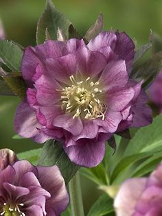 ~~Helleborus Double Ellen Red~~