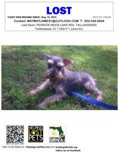 Lost Dog - Schnauzer Miniature - Tallahassee, FL, United States