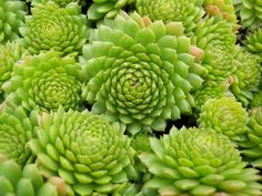 Sempervivum, known commonly as \'Hens & Chicks\' are hardy, rosette-forming succulents of alpine origin. These attractive care-free succulents look fantastic in containers or in cactus and succulent combinations. Plants, Hardy, Sempervivum, Bromeliads, Succulents, Perennials, Evergreen