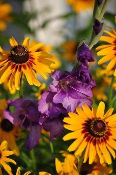 Purple Gladiola and Black-eyed Susan bysuzannewi @webshots