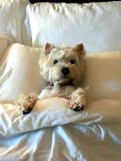 How spoiled is your Westie? #veryspoiled. We have a picture of Skyy like this !