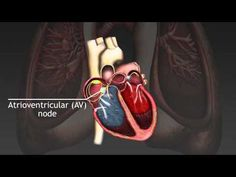 How the cardiac cycle is produced by electrical impulses in the heart