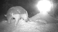 Os pesquisadores usam o equipamento para observar os animais sem perturbá-los, como no caso deste tatu-canastra e o filhote, flagrados saind...