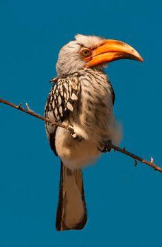 Hornbill 1 Etosha Namibia by Denis Glennon