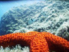 Parco Marino Scogli di Isca Amantea #Calabria - Stella marina rossa