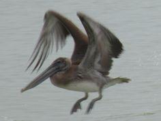 Pelican November 2013