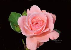 8 x 10  dark pink rose with black by IzabelleCollections on Etsy, $20.00