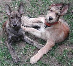 picardy sheepdog photo | picardy shepherd dog - herding dog breeds from the online dog ...