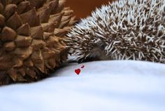EVEN THE HEDGEHOG CAN'T TELL THAT'S A DURIAN | 15 Hedgehogs With Things That Look Like Hedgehogs