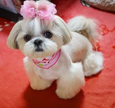 "Fantastic ""shih tzu puppies"" info is available on our web pages. Take a look and you wont be sorry you did. Perro Shih Tzu, Shih Tzu Puppy, Shih Tzus, Shitzu Puppies, Cute Dogs And Puppies, Doggies, Little Dogs, Shih Tzu Hair Styles, Dog Grooming Styles"