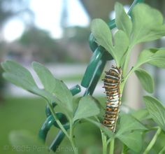 Black Swallowtail Caterpillar on Rue (guess I gotta sacrifice my dill plants to these guys!)