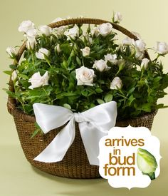 miniature roses - Google Search