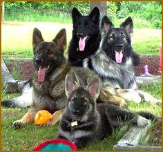 Shiloh Shepherds - I want one!